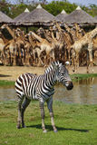 One young zebra Stock Photography