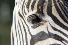 One Zebra eye Stock Photo