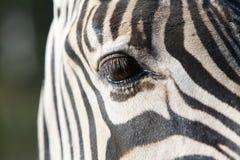 One Zebra eye. Close up a a single brown Zebra eye Stock Photo
