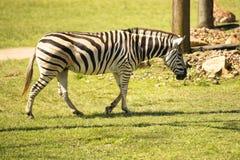 One Zebra Royalty Free Stock Image