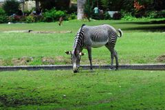 One Zebra grazing in zoo in nuremberg stock images