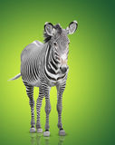 One zebra Stock Photography