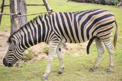 One zebra Stock Photos