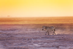 One zebra walking in search of food, Amboseli Stock Photos