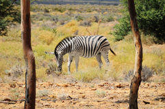Zebra in wild african bush. One zebra in wild african bush with two trees on a front as frame Stock Images