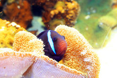 Oneband anemonefish Royalty Free Stock Photo