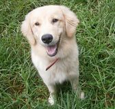 OneDog breed Golden Retriever stock photo