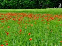 Oneindig gebied van rode papavers, zeer mooie mening royalty-vrije stock foto's