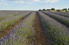 Oneindige Rijen van Lavendel in een Brihuega Weide Aard, Installaties, Geuren, Landschappen royalty-vrije stock foto
