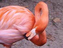 Oneindigheids Roze Flamingo Stock Afbeelding
