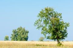 onely albero Campo di grano Immagini Stock Libere da Diritti