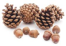 Сones and acorns. Сones and acorns on a white background Stock Photo