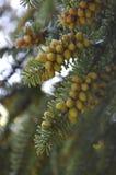 Сones on the tree Stock Photo