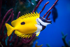 Onespot Foxface Rabbitfish Closeup in an Saltwater Aquarium Stock Photo