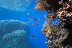 Onespot Rotbarsch auf dem Korallenriff lizenzfreie stockfotos