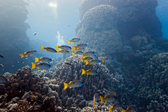 Onespot snapper on the coral reef Stock Photos