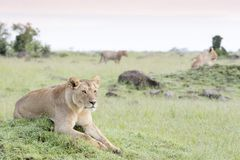 Lioness looking lying on a small hill Stock Images