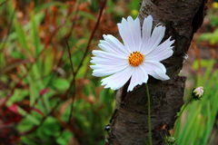 Onetek da flor - cosmos Imagem de Stock Royalty Free