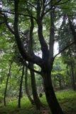 Oneven-gevormde boom in het bos Stock Foto
