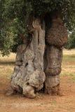 Oneven gevormde olijfboom Stock Afbeelding