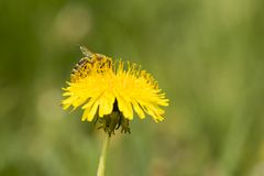Onflower пчелы в саде Стоковое фото RF