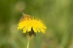 Onflower dell'ape in giardino Fotografia Stock Libera da Diritti