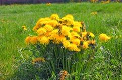 Ongebruikelijk grote struik met gele zonnige paardebloemen op een achtergrond van groen gras Royalty-vrije Stock Afbeeldingen