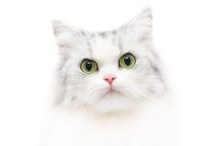 Ongebruikelijk kattenportret, witte achtergrond, ernstige blik Royalty-vrije Stock Afbeelding