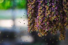 Ongebruikelijk mooie scène van zwermende bijen die van het stuifmeel van een hangende groep purpere bloemen van een palminstallat stock foto