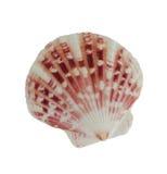 Ongebruikelijke bevlekt shell Stock Afbeeldingen