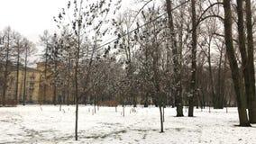 Ongebruikelijke grijze zwarte esdoornbladeren stock videobeelden