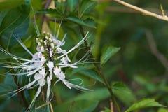 Ongebruikelijke, mooie, witte bloem met purpere uiteinden, in een weelderige Thaise tuin stock foto