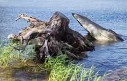 Ongebruikelijke oude boomstomp Royalty-vrije Stock Foto's