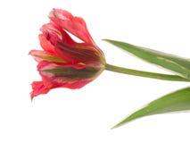 Ongebruikelijke rode tweekleurige tulp stock foto