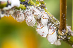 Ongedierte mealybug close-up op de citrusboom Royalty-vrije Stock Afbeelding