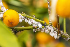 Ongedierte mealybug close-up op de citrusboom Stock Afbeeldingen
