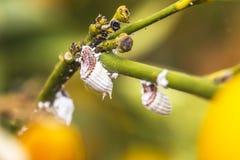 Ongedierte mealybug close-up op de citrusboom Royalty-vrije Stock Afbeeldingen