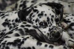 Ongehoorzaam Dalmatisch puppy Stock Afbeelding