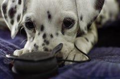 Ongehoorzaam Dalmatisch puppy met hoofdtelefoons Stock Fotografie