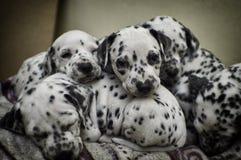 Ongehoorzame Dalmatische puppyslaap Stock Foto
