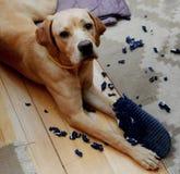 Ongehoorzame hond Stock Foto