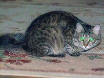 Ongehoorzame Pluizige kat met gloeiende ogen stock afbeelding