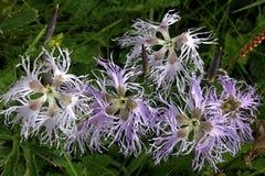 Ongekamde bloemkronen (dianthussuperbus) royalty-vrije stock foto