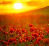 Ongelooflijk mooie bloeiende papavers royalty-vrije stock afbeelding