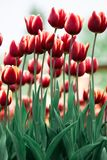 Ongelooflijk mooie de lente rode tulpen royalty-vrije stock afbeelding