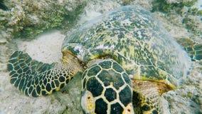 Ongelooflijk mooie, exotische schildpad bij de bodem van het overzees Het duiken dichtbij het tropische Eiland Bali Mariene diere stock videobeelden