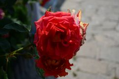 Ongelooflijk mooie rozen op het Eiland Nessebar Bulgarije royalty-vrije stock afbeelding