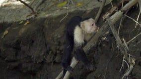 Ongelooflijke wit-onder ogen gezien capuchin aap die Van Centraal-Amerika langs riverbank lopen stock videobeelden