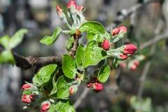 Ongeopende knoppen op de tak van de appelboom Stock Afbeeldingen