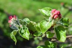 Ongeopende knoppen op de tak van de appelboom Royalty-vrije Stock Foto
